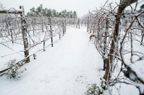 Texas vineyards endure rough growing season