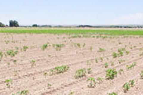 New Pima cotton interest could bring cotton fungus to Texas Plains