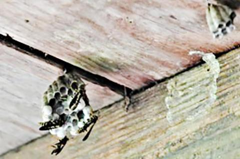 Fascinating facts about wasps, hornets