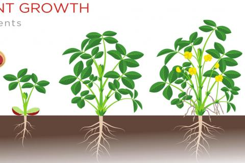 How Peanuts Grow
