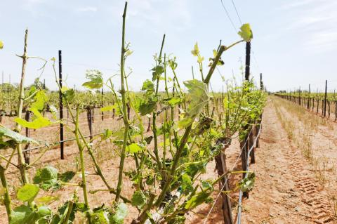 Local vineyards deal with hail damage at different levels